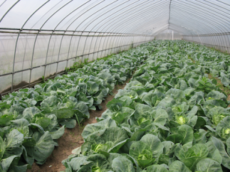 26 Organic greenhouse farming